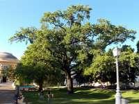 Debreceni tölgy lehet az év fája!